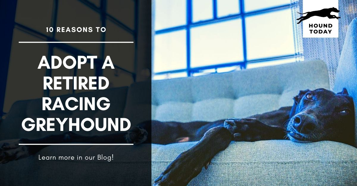 10 Reasons To Adopt A Retired Racing Greyhound