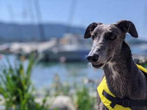 Greyhound Swimming Life Jacket