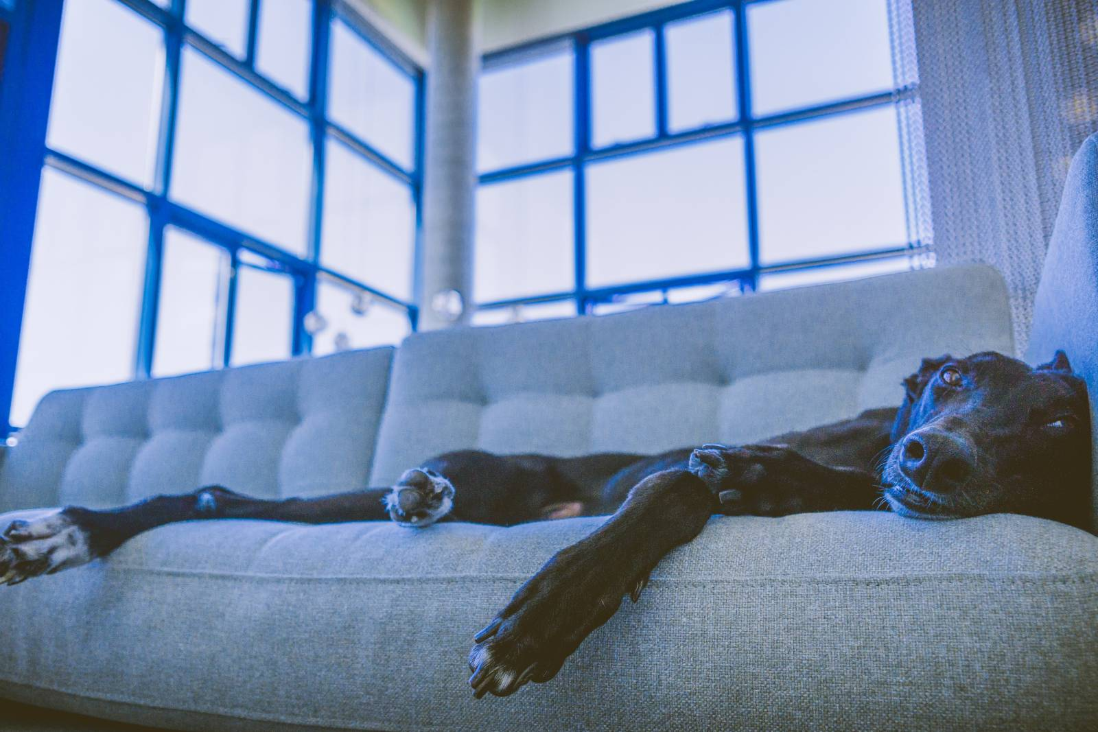 reasons to adopt a retired racing greyhound